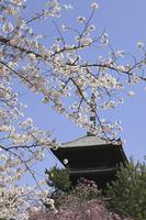 仁和寺と桜