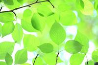 新緑の葉っぱ