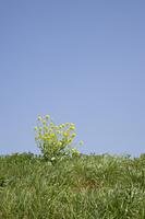 草原に咲く菜の花