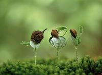 ブナの新芽