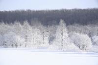 雪原の樹氷
