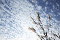 うろこ雲とススキ