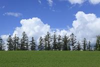 カラマツ林と雲