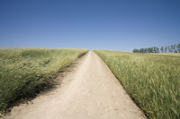 麦畑、麦の中の道