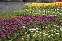 チューリップのお花畑