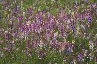 リナリアのお花畑