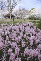 ヒアシンスのお花畑