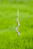 草原のネジバナ