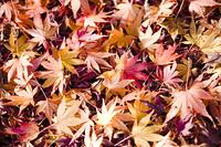 カエデの落ち葉