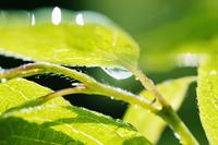 若葉についた水滴