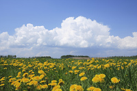 草原とタンポポ