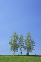 草原の木立