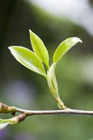 ツバキの新芽