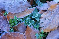落ち葉 霜