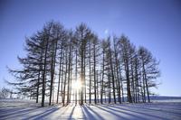 太陽とカラマツ林のシルエット
