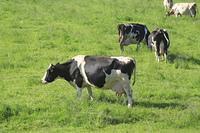 放牧地の牛