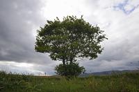 一本の木と雲