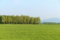 シラカバ並木と草原