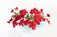 バーベナの花