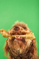 Otter Hound with Dog Bone