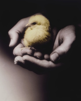 Two Hands Holding Chick