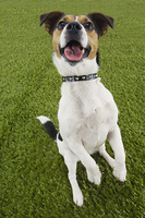 Jack Russell Terrier Sitting Up