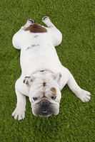 Bulldog Lying on Grass