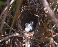 ホオジロの卵