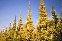 黄葉した神宮外苑の銀杏並木