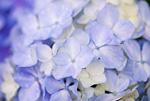 雨あがりのアジサイの花