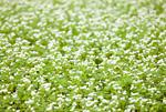 花が咲くソバ畑