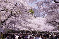上野公園の花見
