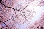 上野公園のサクラ並木