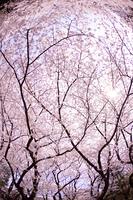 上野公園のソメイヨシノ