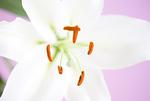 カサブランカの花