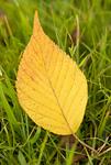 黄葉したサクラの葉