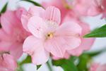 アリストロメリアの花