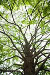 新緑のイチョウの大木