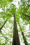 新緑のメタセコイヤの木