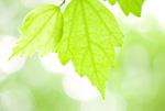新緑のムクゲの葉