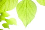 新緑のアメリカキサゲの葉