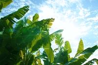 バナナの木と空