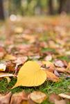 黄葉したサクラの落ち葉