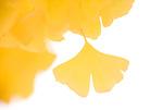 黄葉したイチョウの葉