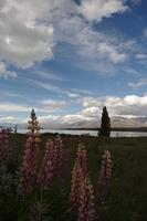 湖畔に咲くルピナス