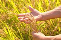 稲穂を触って作柄確認するジニアの手