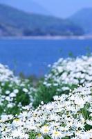 瀬戸内海の海と島とマーガレット畑