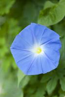 アサガオの花