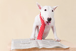 ブルテリア犬と新聞