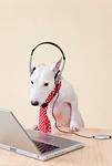 ブルテリア犬とパソコン